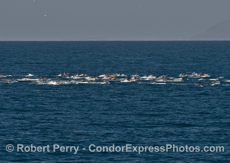 A long line of long-beaked common dolphins on the move