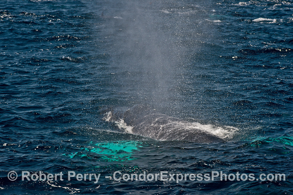 Spout spray in the breeze - a white-pectoral humpback whale
