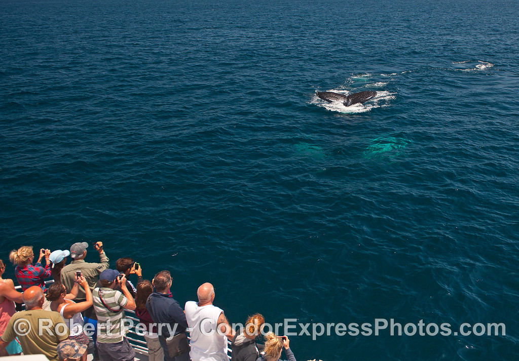 Whale fans get a great look at a humpback whale diving in blue water.  The whale has white pectoral fins that glow from beneath the surface.