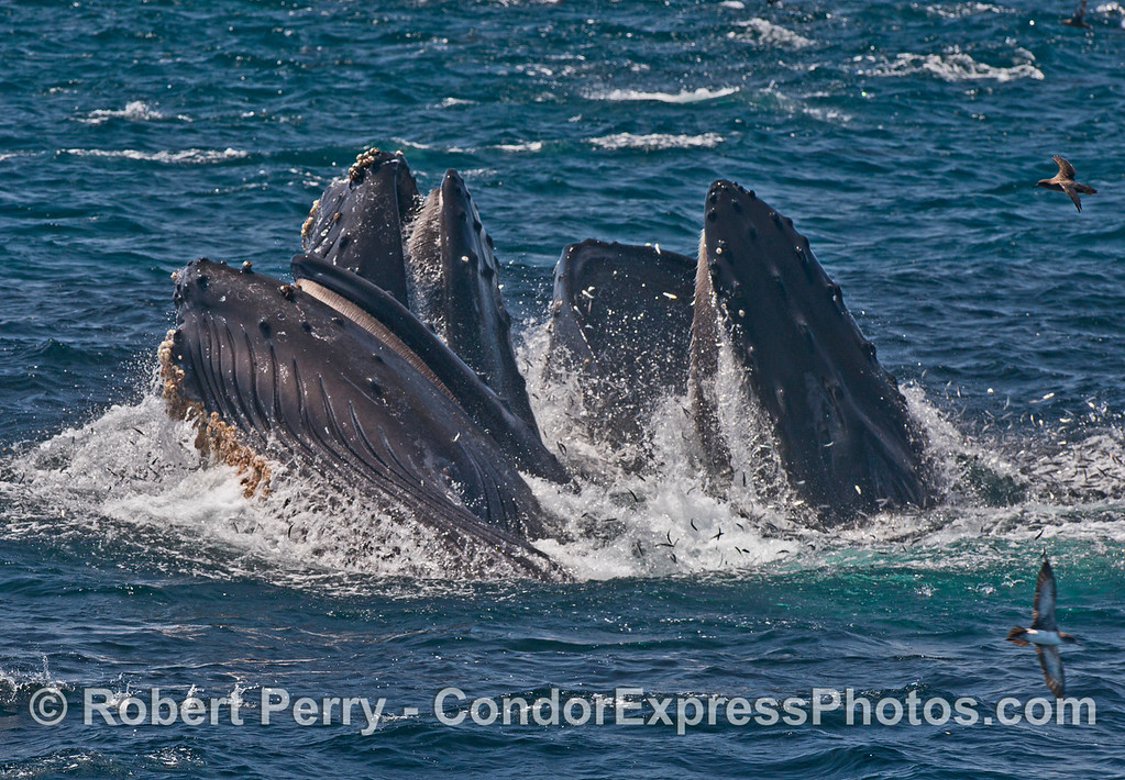 Image 4 of 5 in a row:   Baleen inside three big mouths.