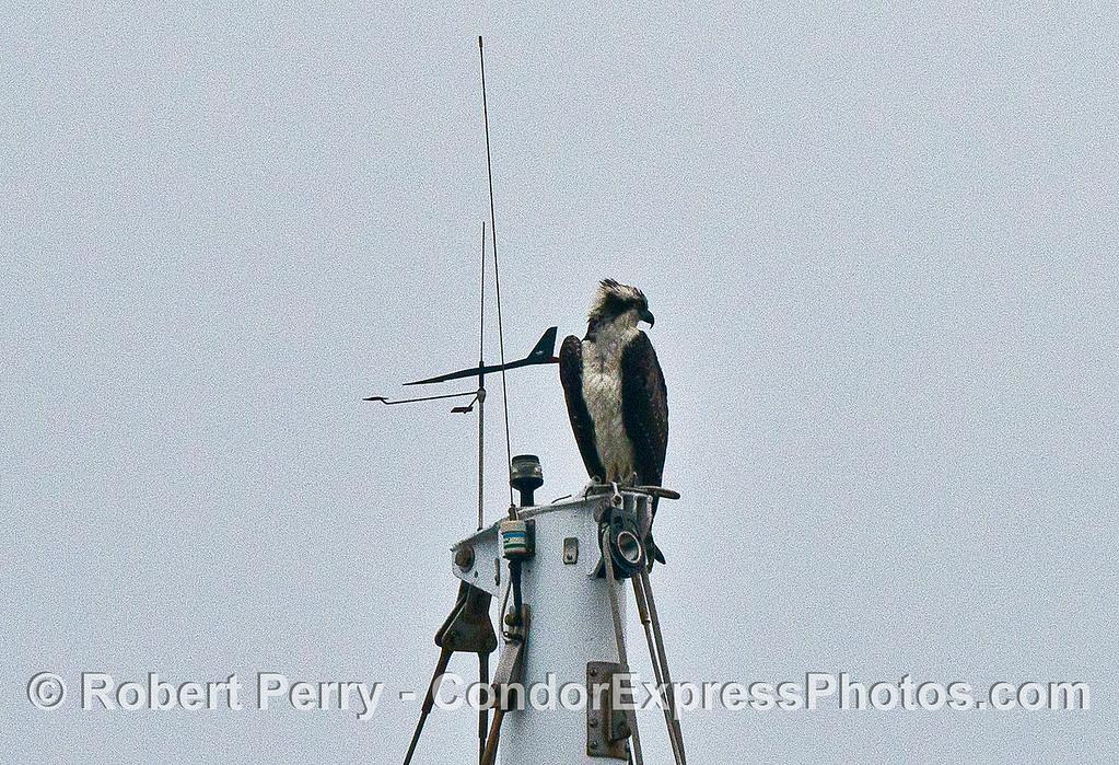 Osprey perched atop a mast head.
