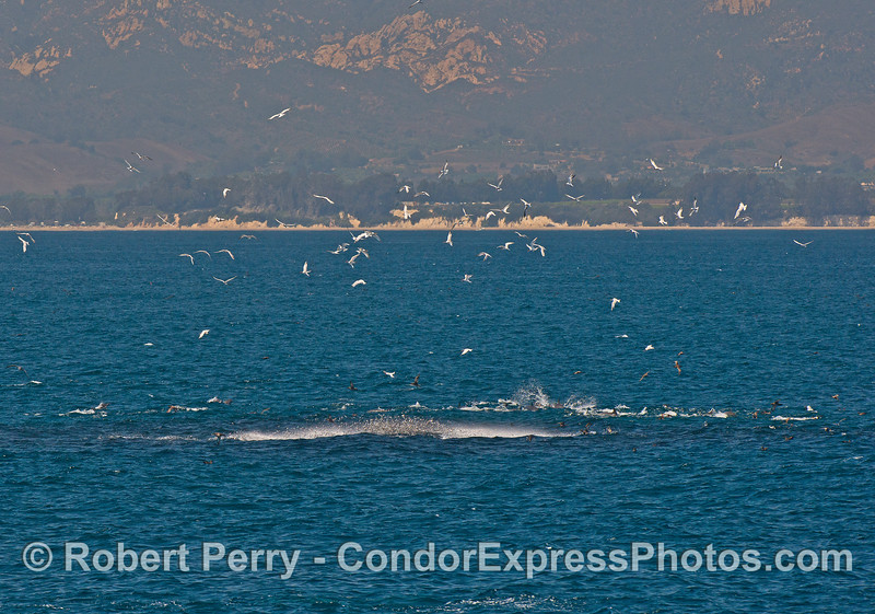 Image 1 of 7 in a row:  a big anchovy bait bal pops up into the air as a humpback whale approaches from below