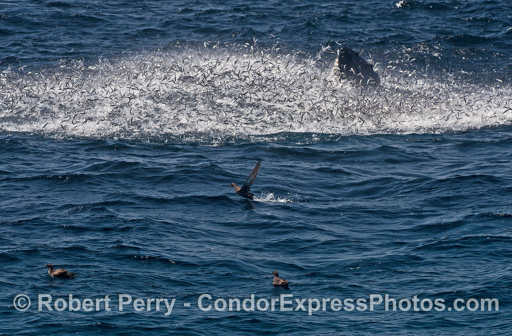 Image 1 of 5 in a row:   A close look at the many thousands of northern anchovies that are leaping out of the ocean to try and escape the on-coming humpback whales below.  The tip of one whales' rostrum is visible in the mix.