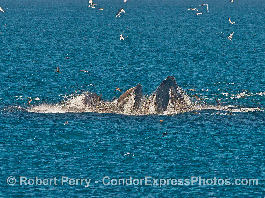 Image 4 of 7 in a row:  Nearly the whole big school of anchovies is being consumed.