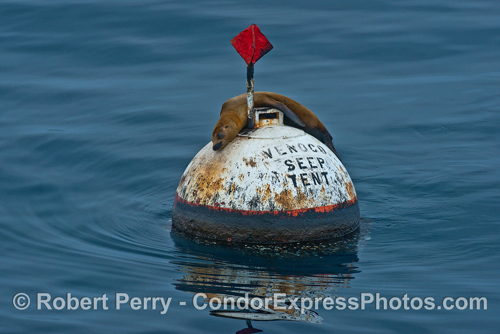 Sea lion on round mooring can.