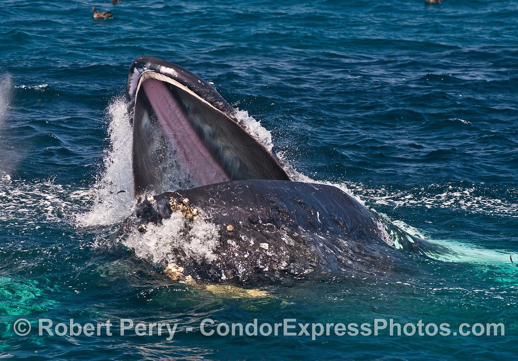 Inside the mouth of the beast - feeding humpback whale on the surface.