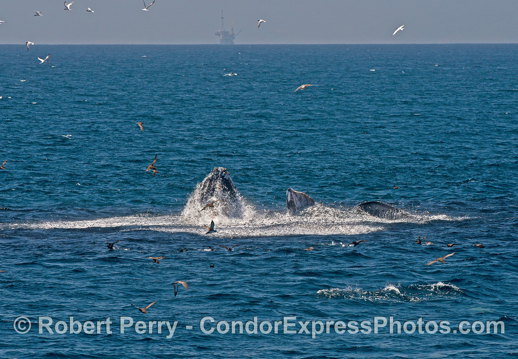 Ten in a row:  surface lunge feeding humpback whales.