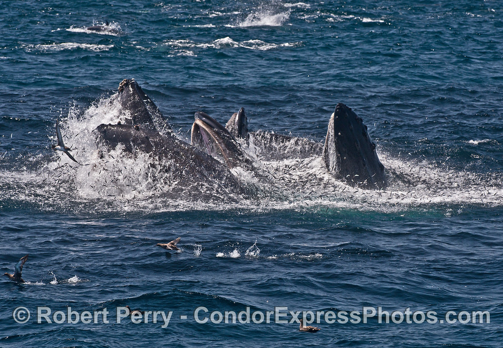 Image 3 of 5 in a row:   three hungry humpbacks go to work