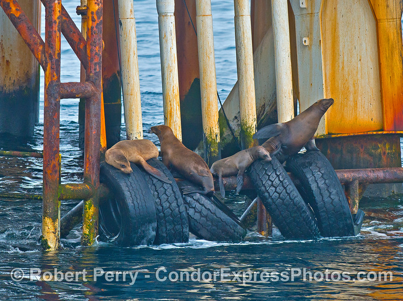 Sea lions - Platform Holly.