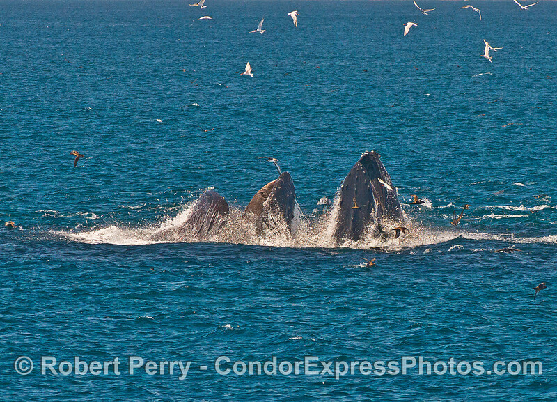 Image 5 of 7 in a row:  Baleen is visible as the humpbacks begin to close their enormous mouths around the fish.