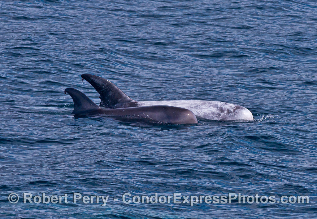 Mother and calf - Risso's dolphins.