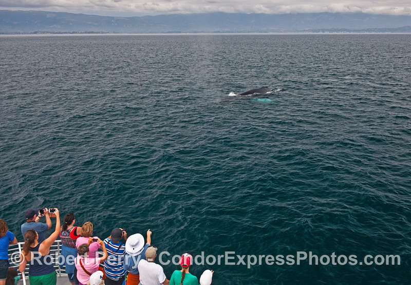 Humpback whale fans lure a giant over to the boat for a friendly encounter