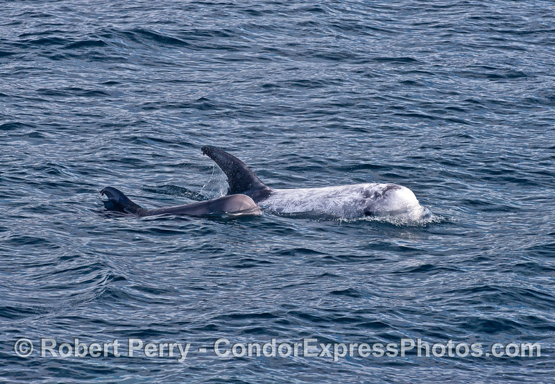 Mother and calf - Risso's dolphins