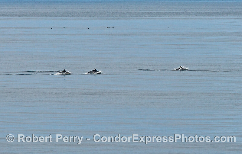 Image 1 of 4:    Common dolphins on the move.