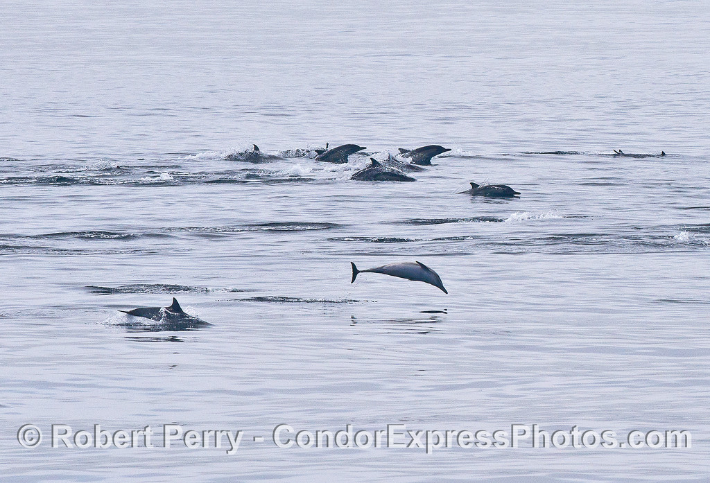 Image 2 of 4:    Common dolphins on the move.