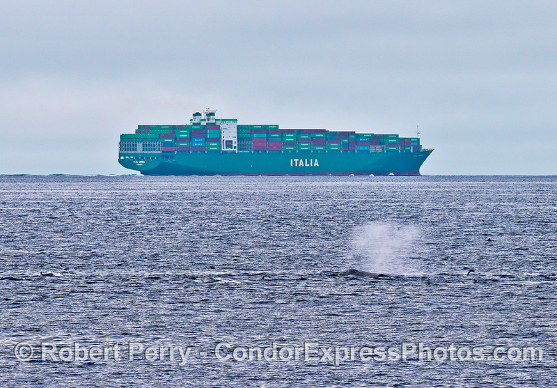 Ital Unica container vessel comes close to the humpback whale zone.