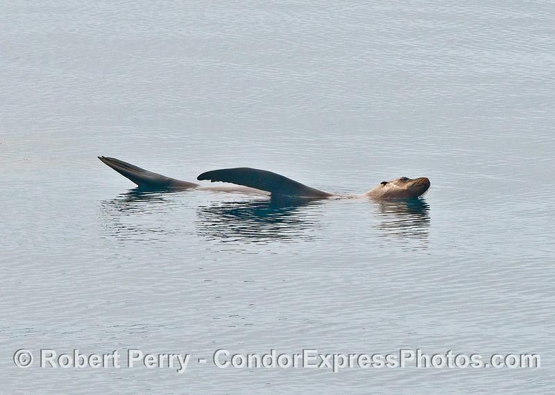 California sea lion relaxin'