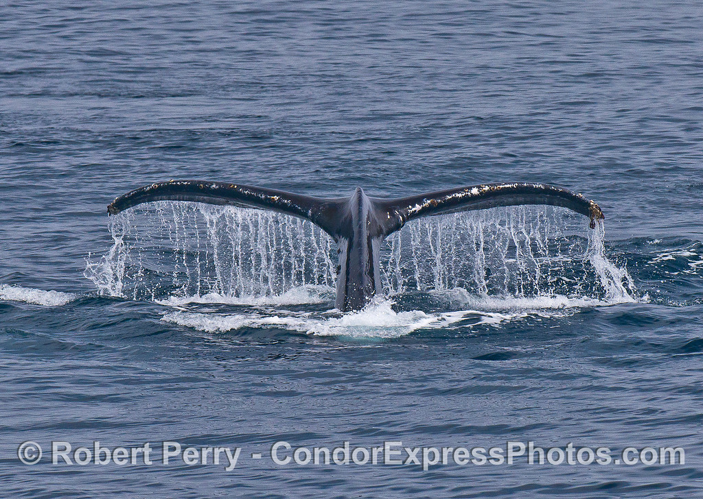 Humpback tail flukes waterfall classic