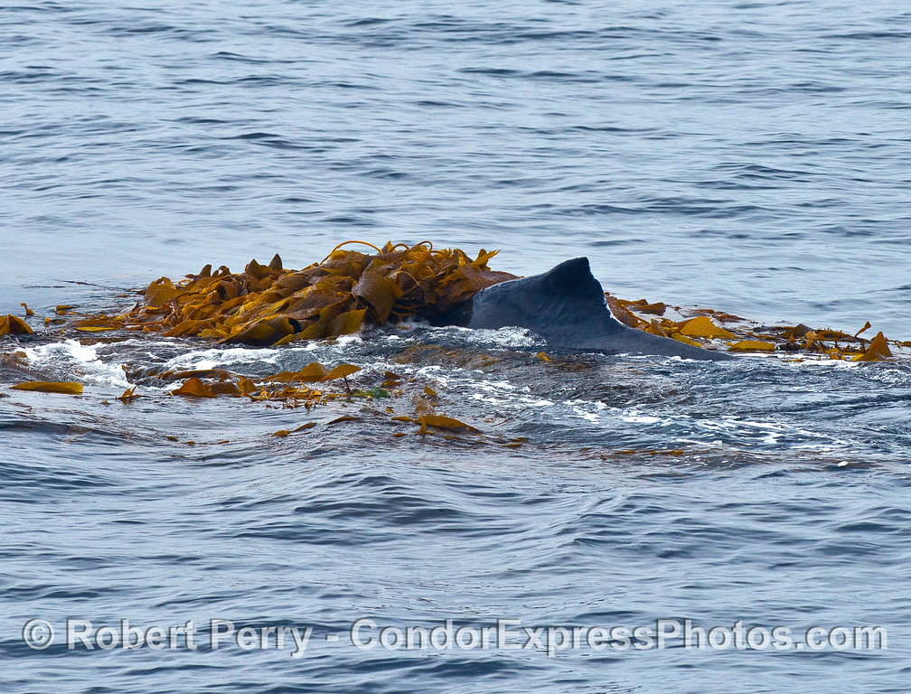 A humpback whale completely covered by kelp.
