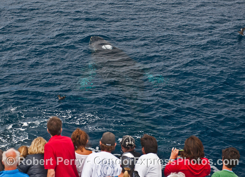 A humpback whale with white pectoral fins, probably the calf, surfaces very close to the bow of the boat.