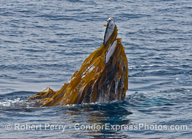 Pectoral fin with giant kelp.