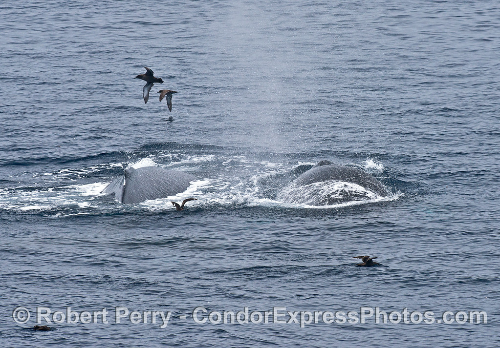 Mother humpback and her calf with sooty shearwaters.