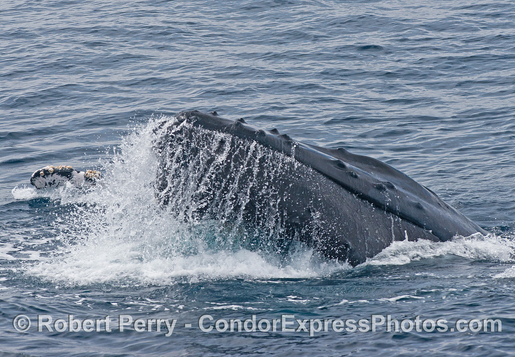 A humpback whale lifts its chin with its long pectoral fins straight out.  The kelp paddy is now behind the whale.