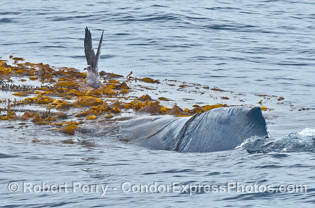 The dorsal hump of a humpback is clearly seen as the whale enters the giant kelp paddy and in the process scares off a juvenile gull that was resting on it.