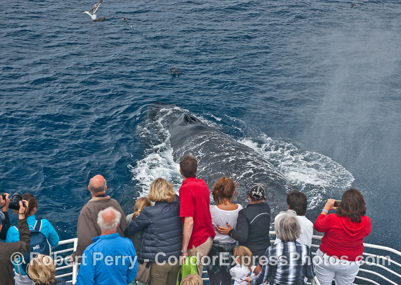 The large mother humpback surfaces and sends spout spray all over the decks.