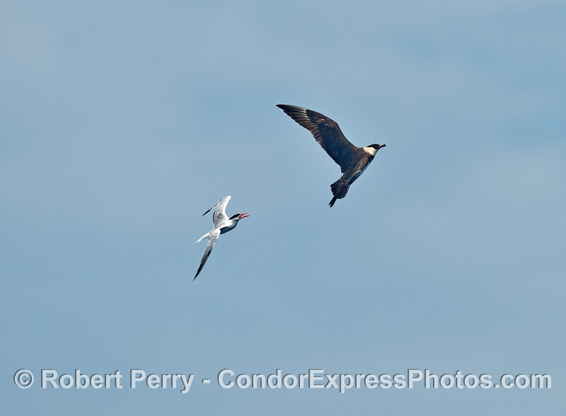 A large cleptoparasitic pomarine jaeger gets chased away from the feeding area by an angry elegant tern.