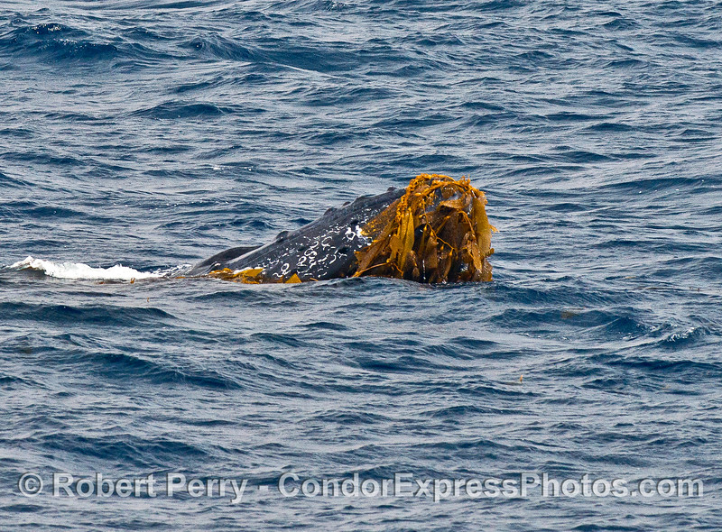 Humpback whale - kelping.