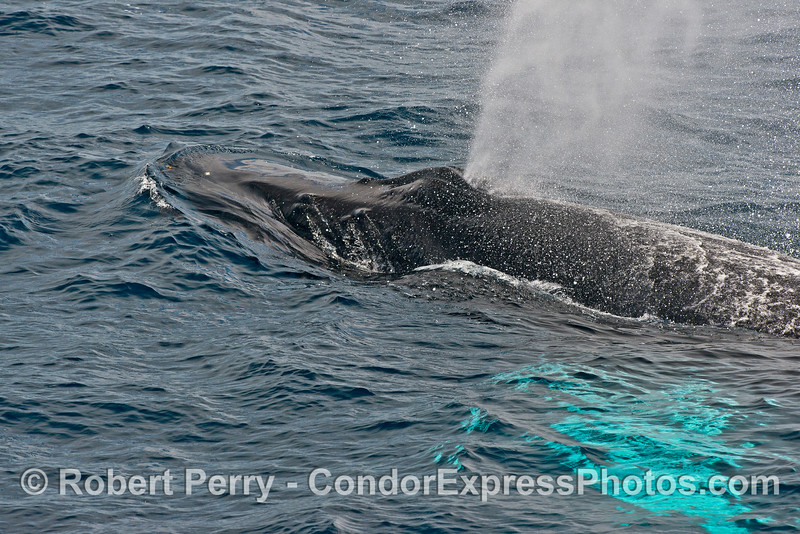 Side view of a spouting humpback whale