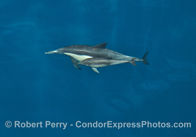 Mother common dolphin and her calf in blue water.