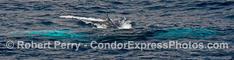 """A panoramic look at the """"wingspan"""" of a white-pectoral humpback whale."""