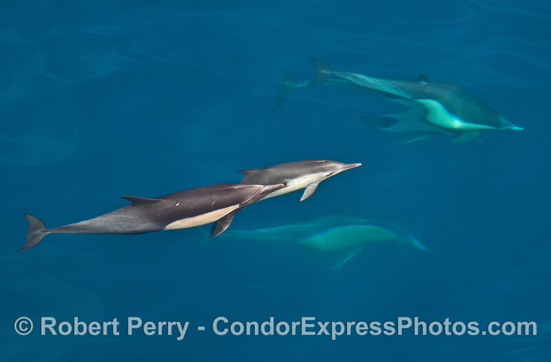 Long-beaked common dolphins in clear blue water.