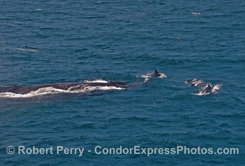 A humpback whale with an armada of long-beaked common dolphins swimming in front.