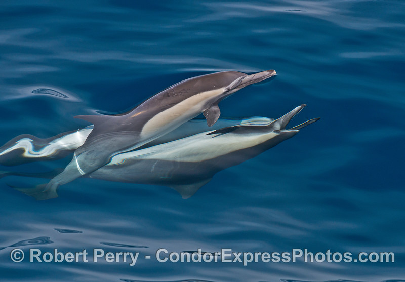 Long-beaked common dolphins mating.  Two upside down males and one right side up female.   A male has his mouth wide open to show off his sharp teech.