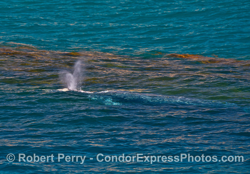 A very rare sighting of a juvenile gray whale in August, in the kelp beds near Hope Ranch.
