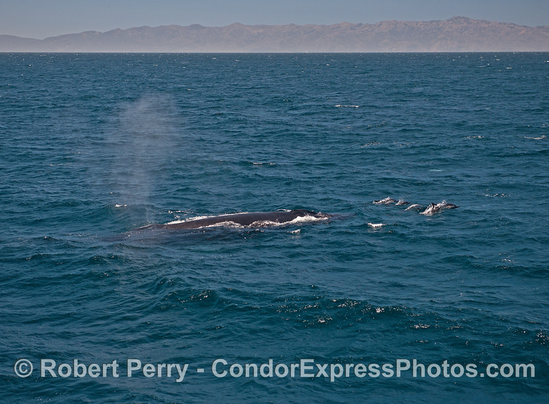 Common dolphins lead a humpback whale through choppy waters.  Santa Cruz Island is seen in the background.