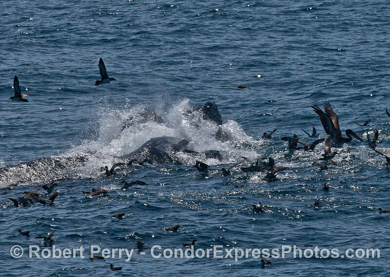 Two humpback whales lunge sideways as they attack a school of anchovies.  Shearwaters and brown pelicans join the feast.