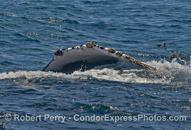 After feeding, a humpback rolls over and shows us its long pectoral fin.