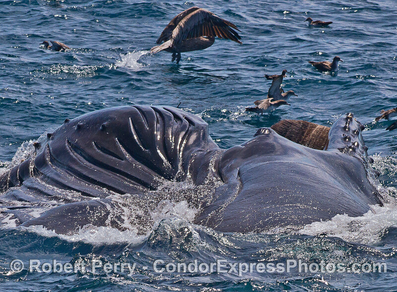 Image 2 of 2 in a row:  a different perspective - looking from tail towards the head at a feeding humpack whale.  The whale is on its side, mouth open, baleen visible.  Its huge gular pouch with expanded ventral blubber grooves is seen on the left side.