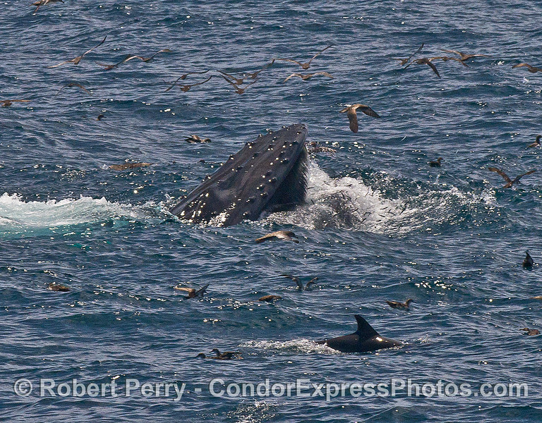Image 1 of 2 in a row:   A surface, vertical lunge by a feeding humpback whale.  Baleen in the upper jaw and numerous leaping anchovies can also be seen.   A common dolphin is in the foreground.