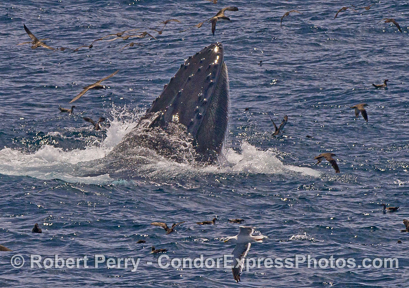Image 2 of 2 in a row:   A surface, vertical lunge by a feeding humpback whale.  Baleen in the upper jaw is visible.