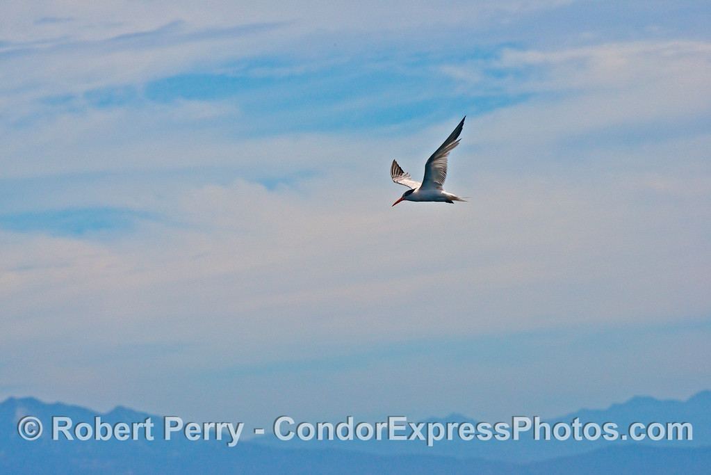 An elegan tern flies above the action looking for an anchovy.