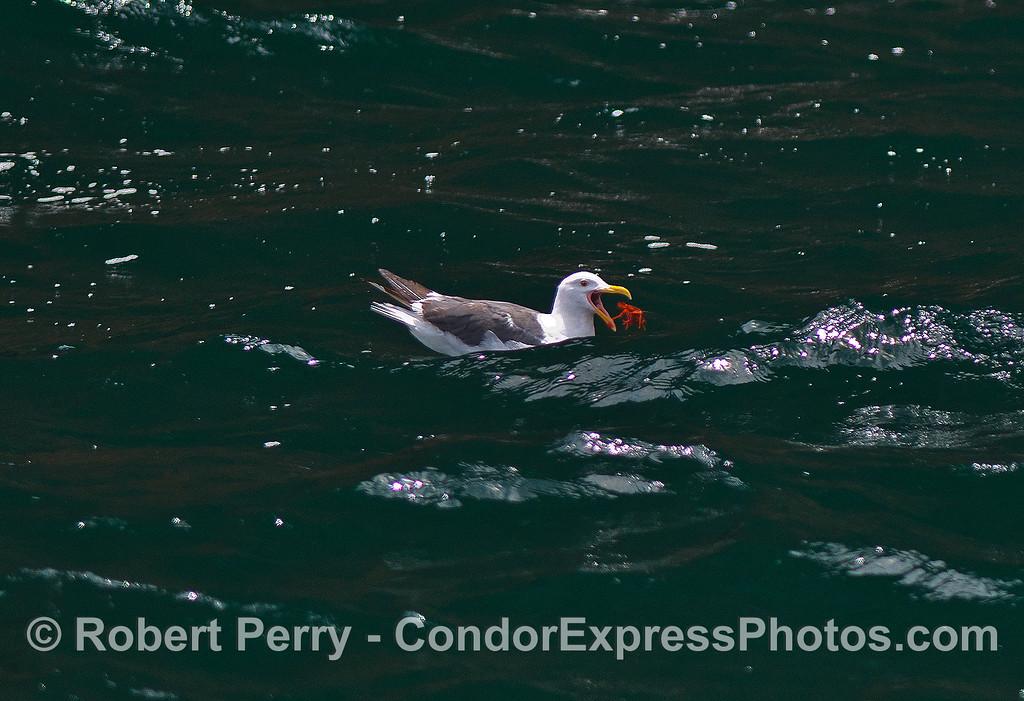 Image 1 of 3:  Western gulls feeding on pelagic red crabs.