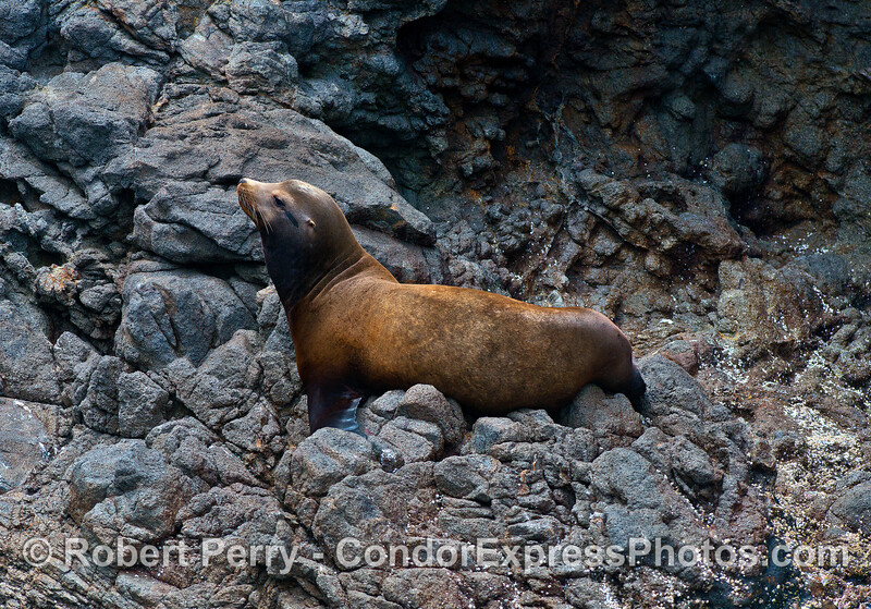 California sea lion (young male) on a rocky ledge inside the mouth of the Painted Cave on Santa Cruz Island.