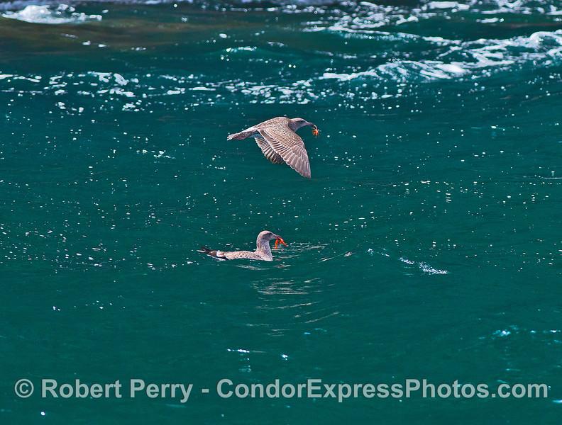 Image 3 of 3:  Western gulls feeding on pelagic red crabs.