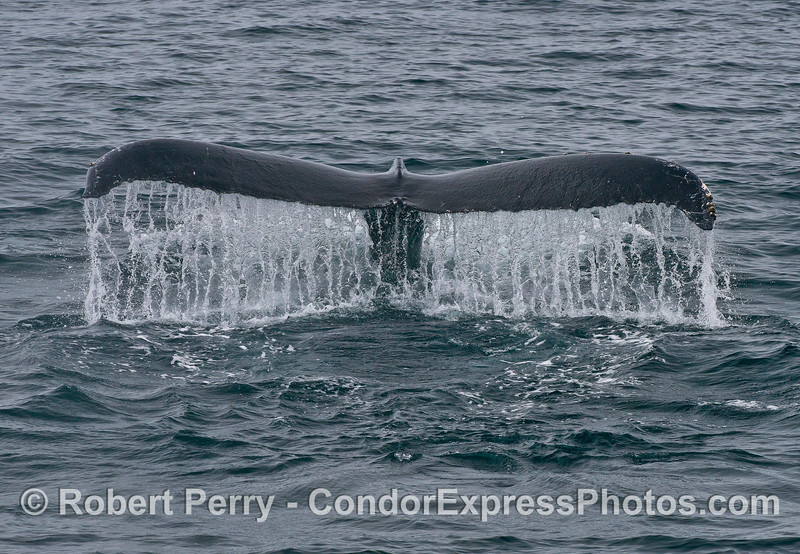 Image 2 of 3 in a row: Humpback whale tail fluke sequence.