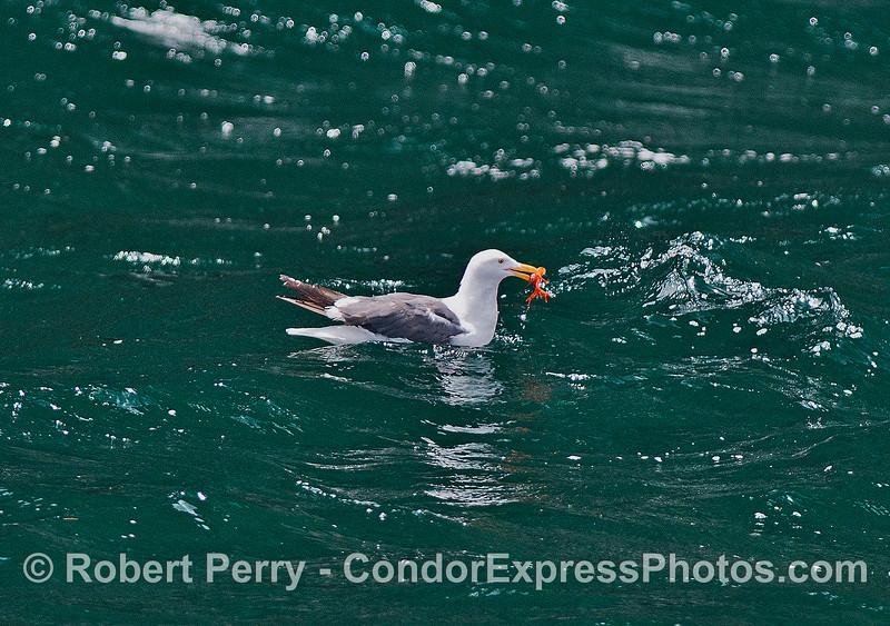 Image 2 of 3:  Western gulls feeding on pelagic red crabs.